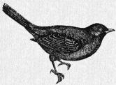 Black Birds Soar