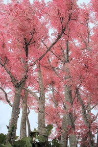 Pink cedar
